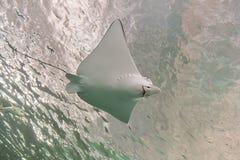 Pescados de Ray Imagen de archivo libre de regalías