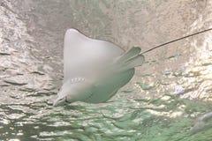 Pescados de Ray Foto de archivo libre de regalías