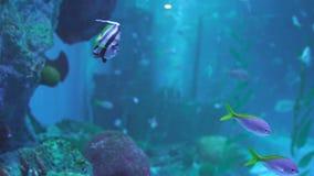 Pescados de Ray y pescados del pompano de Snubnose y pescados de la bandera de Longfin en agua almacen de video