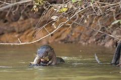 Pescados de roedura de la nutria gigante salvaje en el río bajo rama Imagenes de archivo