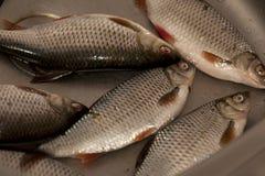 Pescados de Rudd en el fregadero Fotografía de archivo libre de regalías