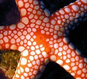 Pescados de Seastar del Mar Rojo Imagen de archivo libre de regalías