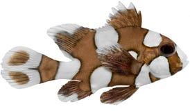 Pescados de Sweetlips del Harlequin Imágenes de archivo libres de regalías