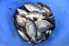 Pescados de Talapia fotografía de archivo libre de regalías