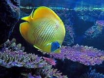 Pescados de Yellow Sea con Coral Isolated en fondo de la naturaleza Foto de archivo