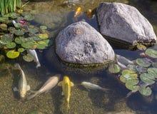 Pescados decorativos en la charca Fotografía de archivo libre de regalías