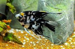 Pescados del ángel en el acuario casero Fotos de archivo libres de regalías