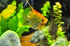 Pescados del ángel en el acuario casero Fotografía de archivo libre de regalías