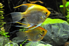 Pescados del ángel en el acuario casero Imágenes de archivo libres de regalías