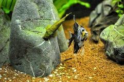 Pescados del ángel en el acuario casero Foto de archivo libre de regalías