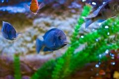 Pescados del acuario Foto de archivo libre de regalías