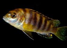 Pescados del acuario Fotos de archivo libres de regalías