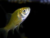 Pescados del acuario Fotografía de archivo