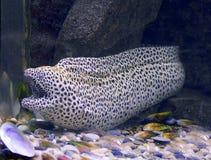 Pescados del acuario, anguila de Moray del leopardo Fotos de archivo