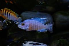 Pescados del acuario del cichlid de Malawi del africano de agua dulce imágenes de archivo libres de regalías