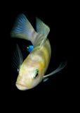 Pescados del acuario de África Fotografía de archivo libre de regalías