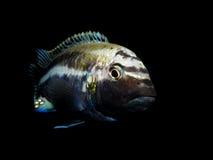 Pescados del acuario de África Imagen de archivo libre de regalías