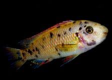Pescados del acuario de África Imágenes de archivo libres de regalías