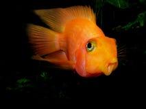 Pescados del acuario de Asia Cichlid del loro Imagen de archivo libre de regalías