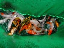 Pescados del acuario de Asia Pez de colores Imágenes de archivo libres de regalías