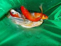 Pescados del acuario de Asia Pez de colores Foto de archivo libre de regalías