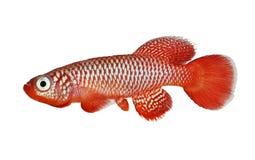 Pescados del acuario de Killi de los flammicomantis de Nothobranchius del Killifish de Kisaki imágenes de archivo libres de regalías