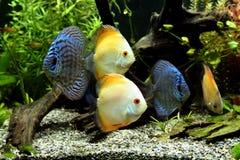Pescados del acuario del disco Imagen de archivo libre de regalías