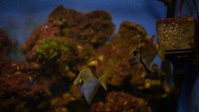 Pescados del acuario en el acuario Angelfish almacen de metraje de vídeo