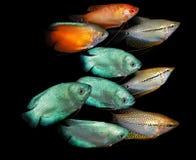 Pescados del acuario Familia de Anabantoidae Foto de archivo