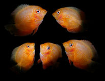 Pescados del acuario Familia del Cichlidae Imagen de archivo libre de regalías