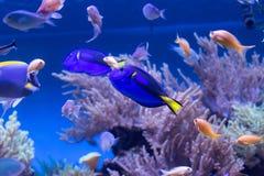 Pescados del arrecife de coral Fotos de archivo