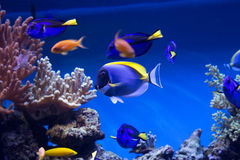 Pescados del arrecife de coral Foto de archivo