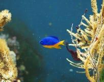 Pescados del arrecife de coral en el agua Fotografía de archivo