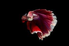 Pescados del betta de la media luna Imagenes de archivo