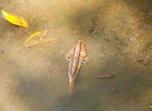 Pescados del Blenny Imagenes de archivo
