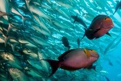 Pescados del cirujano Foto de archivo libre de regalías