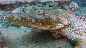 Pescados del cocodrilo Imagenes de archivo