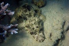Pescados del cocodrilo en el fondo del mar Fotografía de archivo