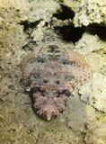 Pescados del cocodrilo Mar Rojo Egipto Foto de archivo