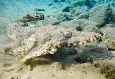 Pescados del cocodrilo Mar Rojo Egipto Fotografía de archivo libre de regalías