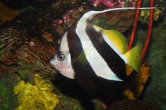 Pescados del coral del banderín Fotografía de archivo libre de regalías