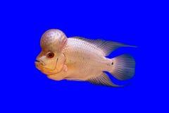Pescados del cuerno de la flor Foto de archivo libre de regalías