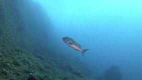 Pescados del dentón de la vida marina del mar Mediterráneo que nadan cerca de la cámara metrajes