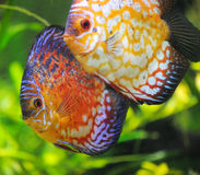 Pescados del disco Foto de archivo libre de regalías