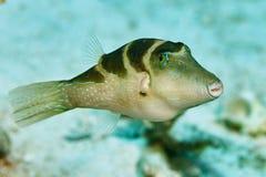 Pescados del disparador debajo del agua Imagenes de archivo