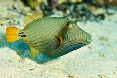 Pescados del disparador en el Mar Rojo Fotos de archivo libres de regalías