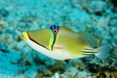 Pescados del disparador, pescados en el Mar Rojo Foto de archivo libre de regalías