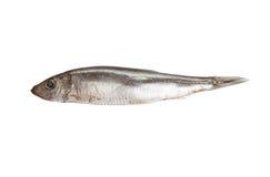 Pescados del espadín aislados en el fondo blanco Foto de archivo libre de regalías
