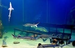 Pescados del esturión fotos de archivo