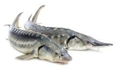 Pescados del esturión Imagen de archivo libre de regalías